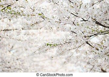 fresh Korean cherry blossoms in full bloom