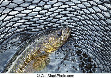 Close up of a nice walleye in the net - A close up shot of a...