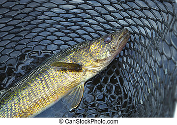Close up shot of nice walleye in a fishing net - A close up...
