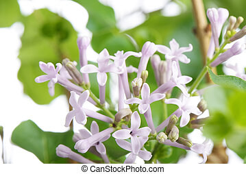 purple miss kim lilac flowers on a branch, on a white...