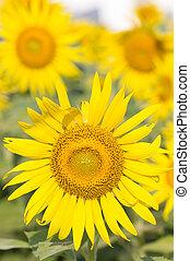 girasole, giallo