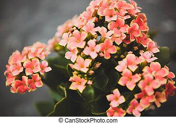 Kalanchoe flowers - Beautiful flowers in the garden...