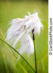 common cottongrass Eriophorum angustifolium