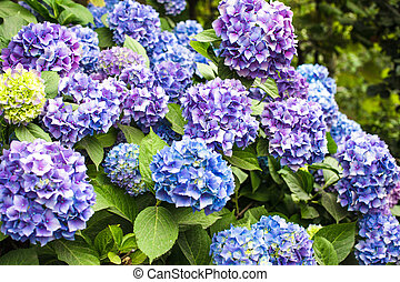 Hydrangea bush - Blue hydrangea flowers on the bush in the...