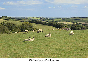 Sheep and lambs Exmoor - Sheep and lambs grazing Exmoor...