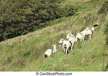 Sheep and lambs Exmoor - Sheep and lambs shelter and graze...