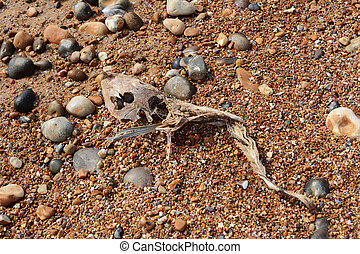 Skeleton of a smooth dogfish on a shingle beach - Washed up...
