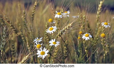 Blossoming camomiles among ripening wheat