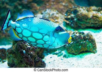 Clown Triggerfish - Balistoides conspicillum - saltwater...
