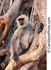 Gray langur (Semnopithecus dussumieri) sitting in a big...