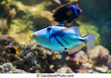 Picasso triggerfish - Rhinecanthus aculeatus - saltwater...