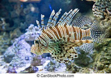 Red firefish - Pterois volitans - dangerous fish Red...