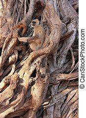 Gray langur (Semnopithecus dussumieri) sitting in a big...