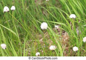 hare's-tail cottongrass (Eriophorum vaginatum) in Hokkaido,...