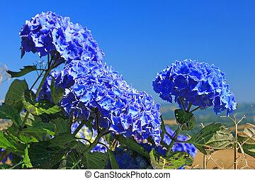 Hydrangea Hortensia - flowering Hortensia (Hydrangea) in...