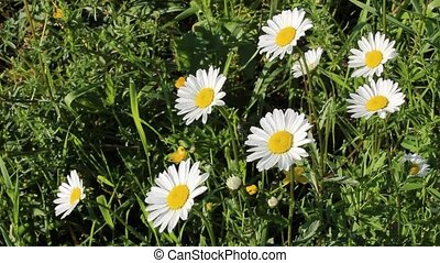 Daisies on a glade