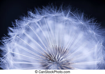 Dandelion seed head macro close up on black background