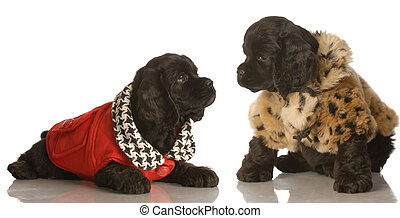 two puppies wearing coats - two american cocker spaniel...