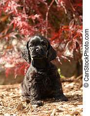 puppy in the park - american cocker spaniel puppy sitting in...