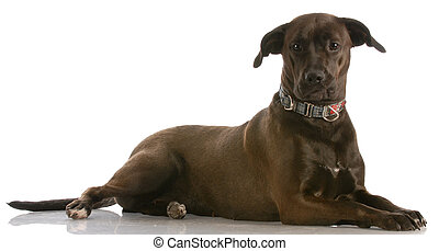 mix breed lab cross - mixed breed lab cross - one year old...