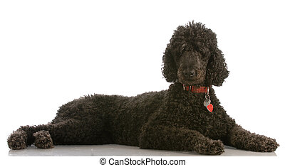 standard poodle - black standard poodle - six years old -...