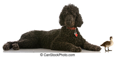 standard poodle and duck