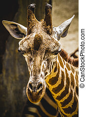 funny beautiful giraffe in a zoo park