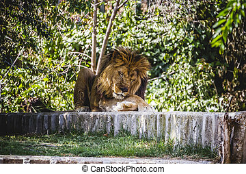 resting male lion lying in the sun