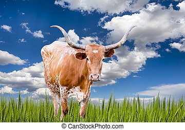 Longhorn Cow  - Female Longhorn cow  in a Texas pasture