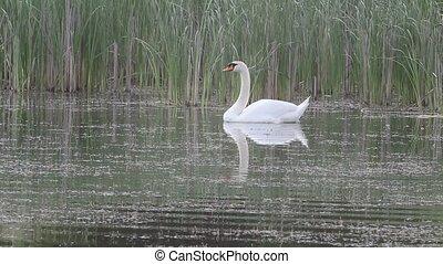Swan grace.