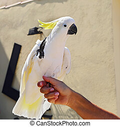 Yellow Cockatoo (Cacatua sulphurea)
