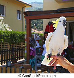 Yellow Cockatoo Cacatua sulphurea