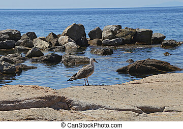 Seagull in the Bay - Giglio Island