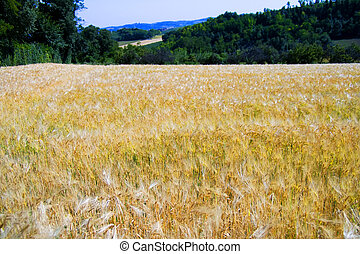 Wheat - View of a field of golden wheat