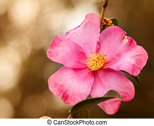 Beautiful Pink Home Run Rose - Close-up of a beautiful pink...