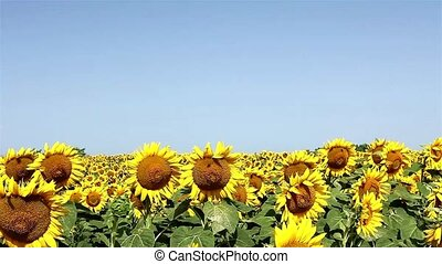 Sunflowers on wind and blue sky - Field of blooming...