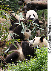 Pandas eating - Three young pandas eating bamboo