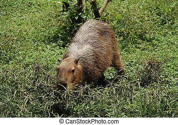 Capybara - Wild capybara shot in Venezuela