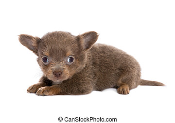 Brown chihuahua puppy lying down