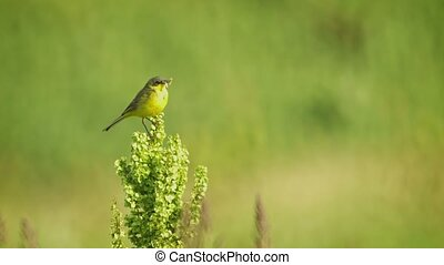 Western Yellow Wagtail (Motacilla flava) with an insect in...