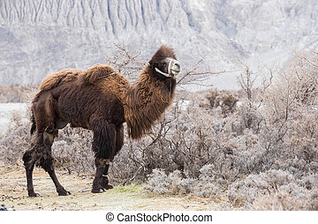 camel - Bactrian camel in Nubra valley  , India