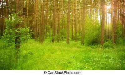 Beautiful morning scene in the green forest with sun rays
