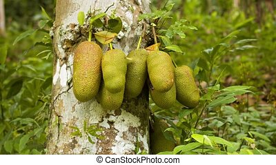 Jackfruit (Artocarpus heterophyllus) on tree trunk - Video...