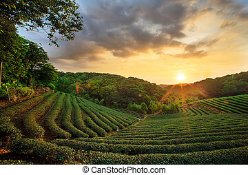 tea plantation landscape sunset for adv or others purpose...