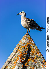 Seagull - Young yellow-legged gull with sky background