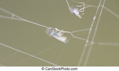 insects mosquitoes in a trap a web macro - mosquitoes were...