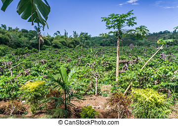 Ylang-Ylang plantation in Nosy Be, Madagascar