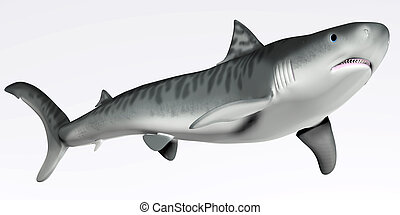 Tiger Shark on White - The Tiger Shark is a large...