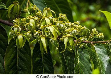 Ylang-Ylang flowers on tree, for manufacture of essential...