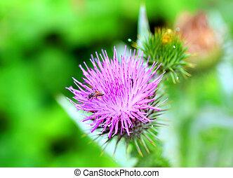 Burdock thorny flower Arctium lappa on green blur background...